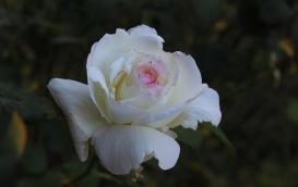 autumn-rose_22422096675_o