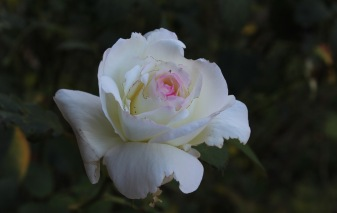 autumn-rose_22422096675_o