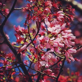 blossoms-at-congressional-cemetery-wdc_17112180582_o