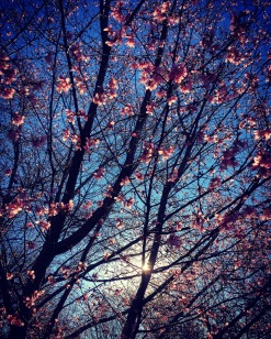 cherry-blossoms-at-congressional-cemetery-march-1_25119249580_o