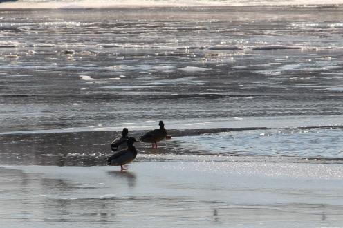 ducks-and-ice-on-potomac_15620848993_o