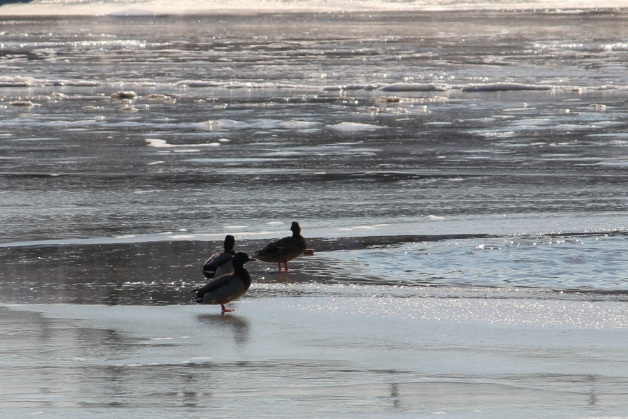 ducks-and-ice-on-potomac_15620848993_o