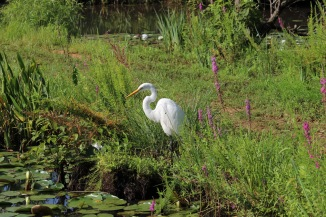 egret-at-the-aquatic-gardens_19802597386_o