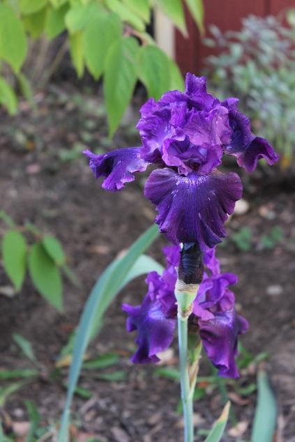 fall-blooming-iris-in-washington-dc_15515240927_o