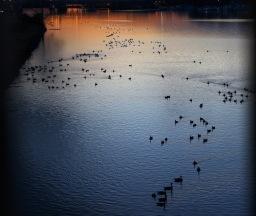 geese-and-anacostia-sunset_24786079571_o