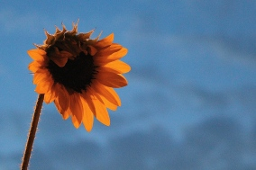 sunflower_16001488917_o