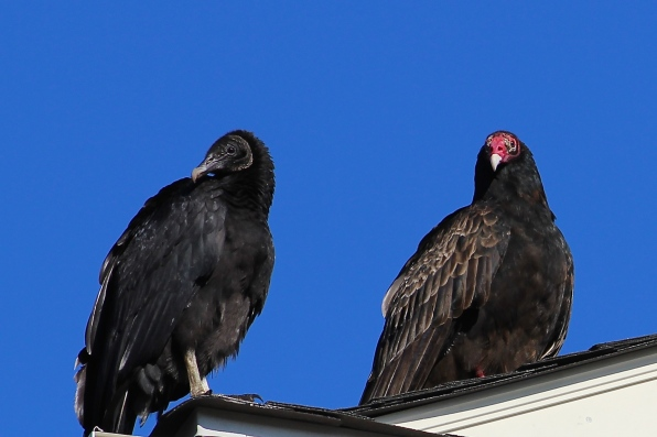 turkey-vultures-in-williamsburg_15351050103_o