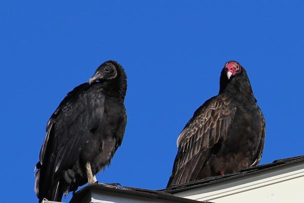 turkey-vultures-in-williamsburg_15351050103_o
