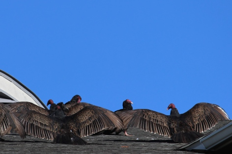 turkey-vultures-in-williamsburg_15971906652_o