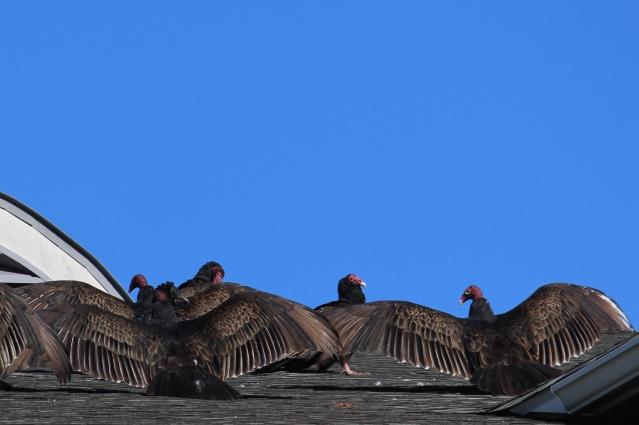 turkey-vultures-in-williamsburg_15971906652_o